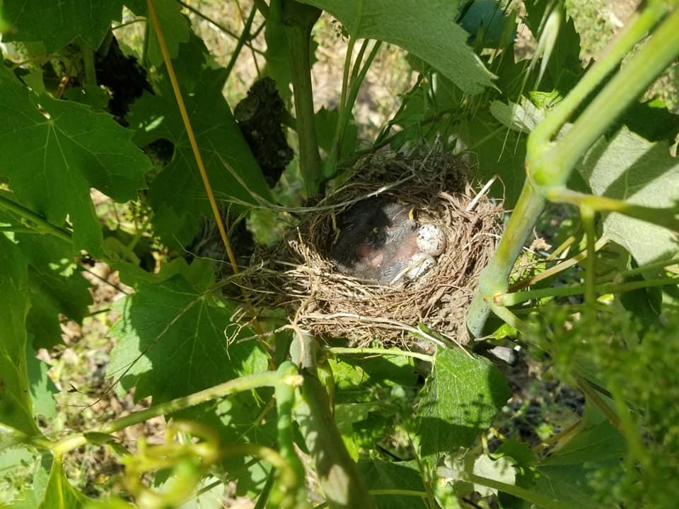 Nid oiseau vignes Vin bio Agriculture biologique